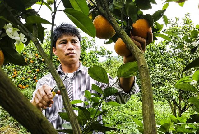 Cận cảnh vườn cam cho lãi gần 1 tỷ đồng/năm của nông dân Hòa Bình - Ảnh 7.