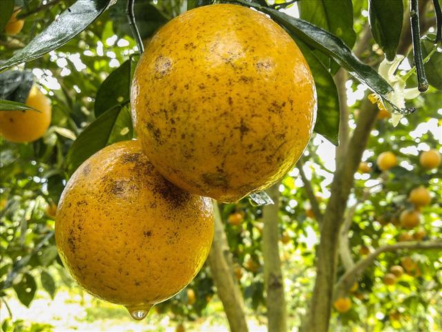 Cận cảnh vườn cam cho lãi gần 1 tỷ đồng/năm của nông dân Hòa Bình - Ảnh 3.