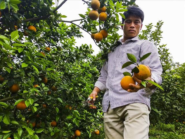 Cận cảnh vườn cam cho lãi gần 1 tỷ đồng/năm của nông dân Hòa Bình - Ảnh 4.