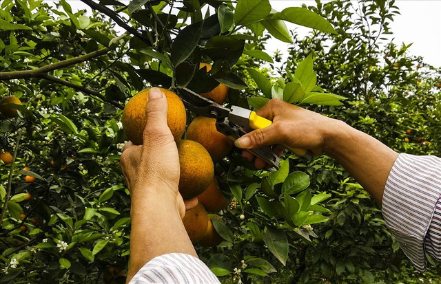 Cận cảnh vườn cam cho lãi gần 1 tỷ đồng/năm của nông dân Hòa Bình - Ảnh 5.