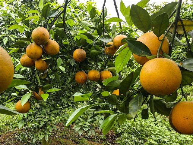 Cận cảnh vườn cam cho lãi gần 1 tỷ đồng/năm của nông dân Hòa Bình - Ảnh 6.