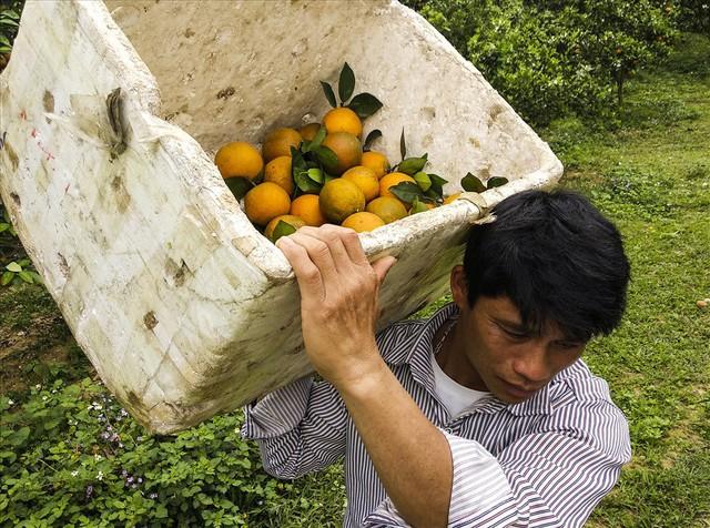 Cận cảnh vườn cam cho lãi gần 1 tỷ đồng/năm của nông dân Hòa Bình - Ảnh 8.