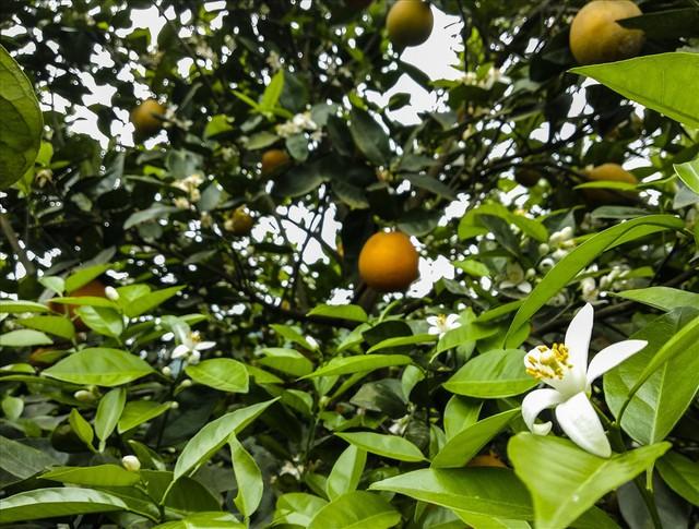 Cận cảnh vườn cam cho lãi gần 1 tỷ đồng/năm của nông dân Hòa Bình - Ảnh 10.