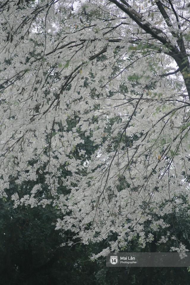 Chùm ảnh: Đây là Hà Nội, của những ngày trắng muốt hoa sưa... - Ảnh 7.