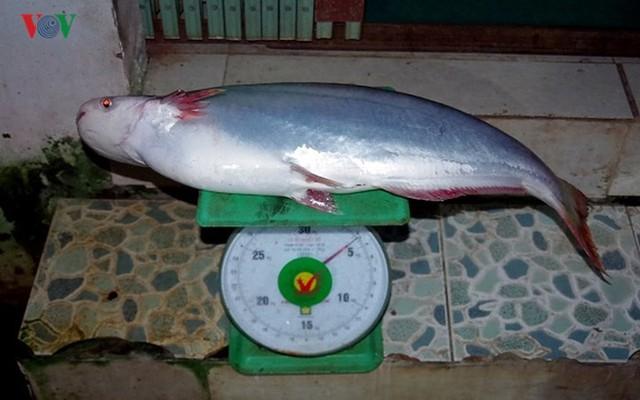 Kiếm hàng chục triệu nhờ săn cá bông lau sông Hậu - Ảnh 9.