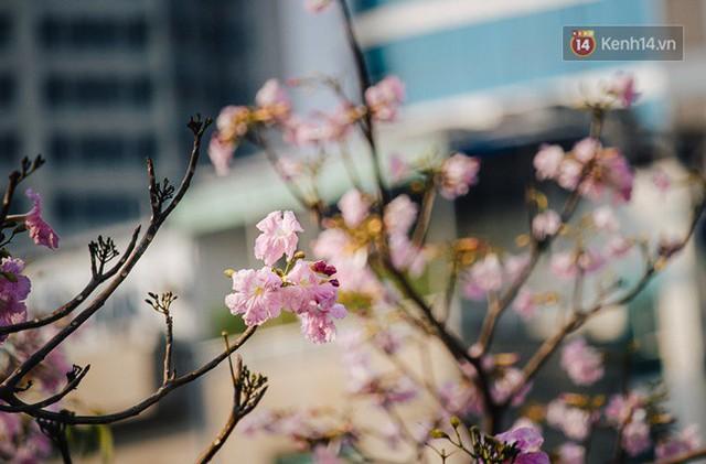 Sài Gòn trong mùa hoa kèn hồng nở rộ, khắp phố phường như đang vào xuân - Ảnh 2.