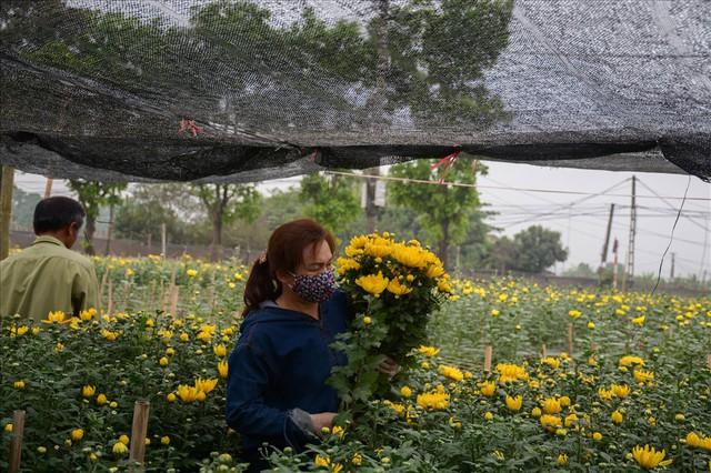 Nông dân Tây Tựu ngao ngán: Hoa cúc được mùa nhưng mất giá - Ảnh 1.