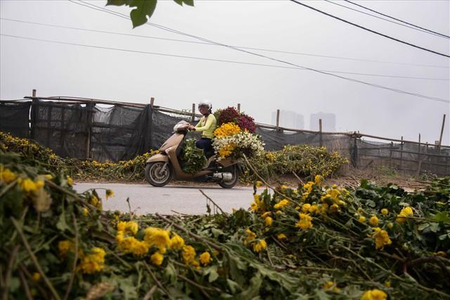 Nông dân Tây Tựu ngao ngán: Hoa cúc được mùa nhưng mất giá - Ảnh 2.