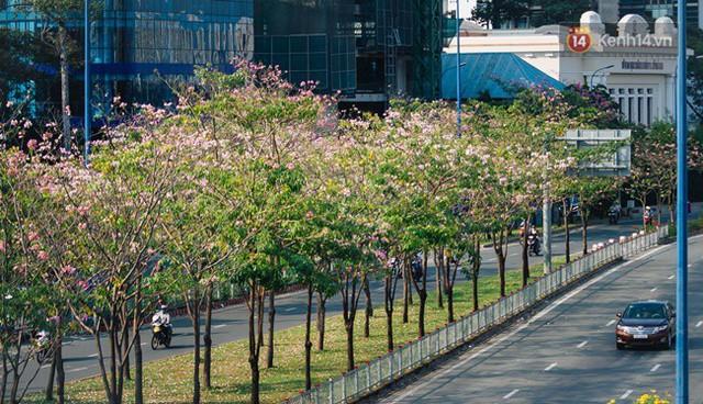 Sài Gòn trong mùa hoa kèn hồng nở rộ, khắp phố phường như đang vào xuân - Ảnh 11.