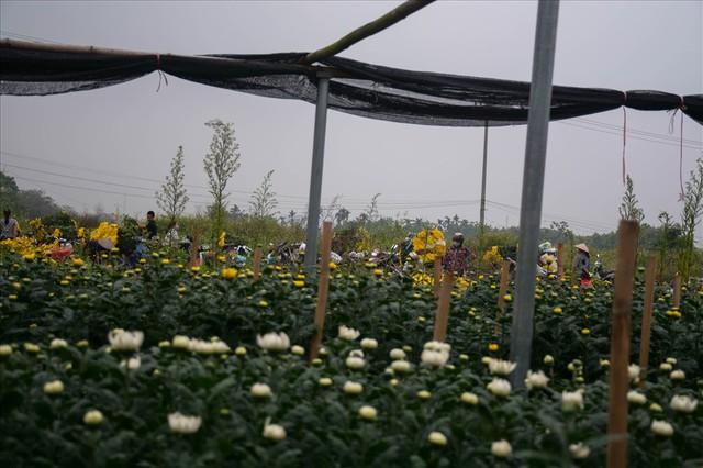 Nông dân Tây Tựu ngao ngán: Hoa cúc được mùa nhưng mất giá - Ảnh 13.