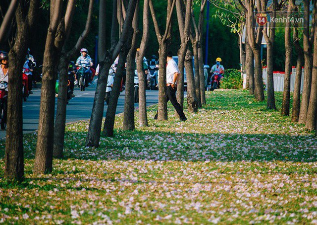 Sài Gòn trong mùa hoa kèn hồng nở rộ, khắp phố phường như đang vào xuân - Ảnh 4.