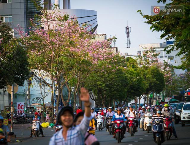 Sài Gòn trong mùa hoa kèn hồng nở rộ, khắp phố phường như đang vào xuân - Ảnh 5.
