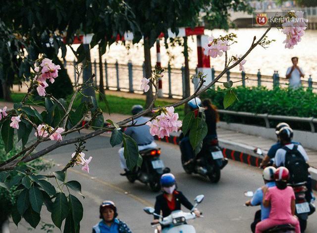 Sài Gòn trong mùa hoa kèn hồng nở rộ, khắp phố phường như đang vào xuân - Ảnh 7.