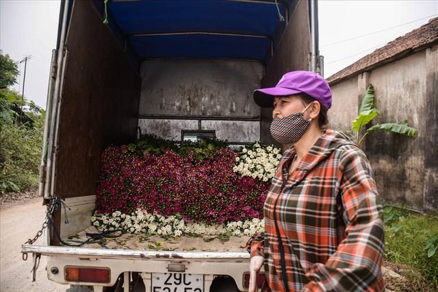Nông dân Tây Tựu ngao ngán: Hoa cúc được mùa nhưng mất giá - Ảnh 7.