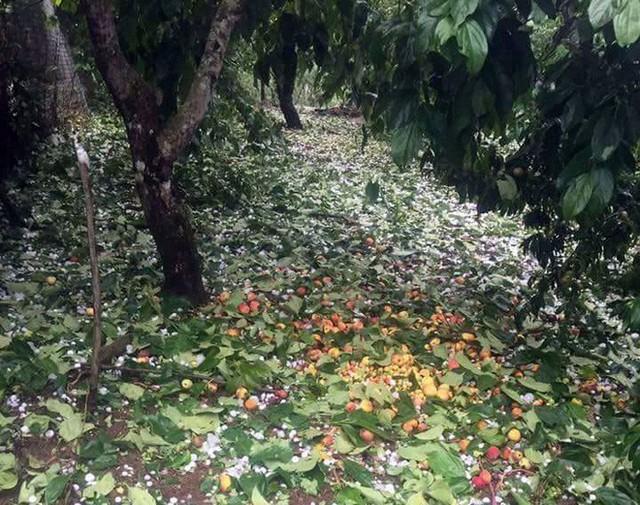 Hai trận mưa đá liên tiếp làm mận rụng đầy gốc ở Sơn La - Ảnh 2.