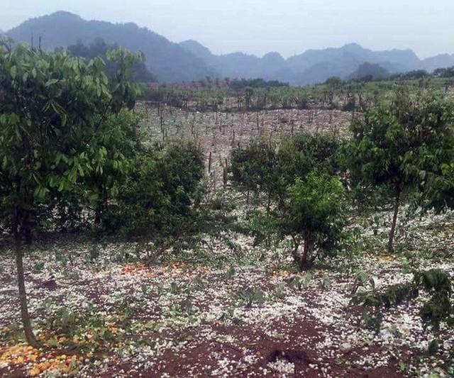 Hai trận mưa đá liên tiếp làm mận rụng đầy gốc ở Sơn La - Ảnh 3.