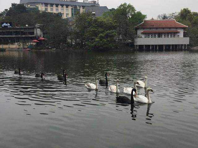 Thiên nga hồ Thiền Quang bị thương do trúng lưỡi câu trộm, phải đưa đi chăm sóc - Ảnh 1.