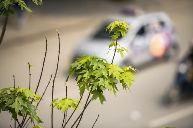 Cận cảnh hàng cây phong đỏ ở Hà Nội vào mùa trổ lá - Ảnh 12.