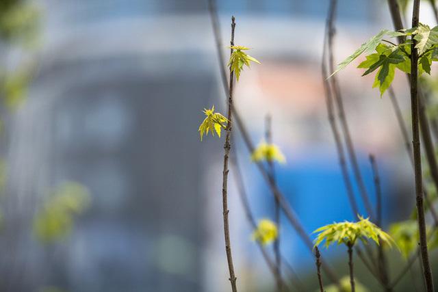 Cận cảnh hàng cây phong đỏ ở Hà Nội vào mùa trổ lá - Ảnh 4.