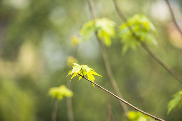Cận cảnh hàng cây phong đỏ ở Hà Nội vào mùa trổ lá - Ảnh 5.