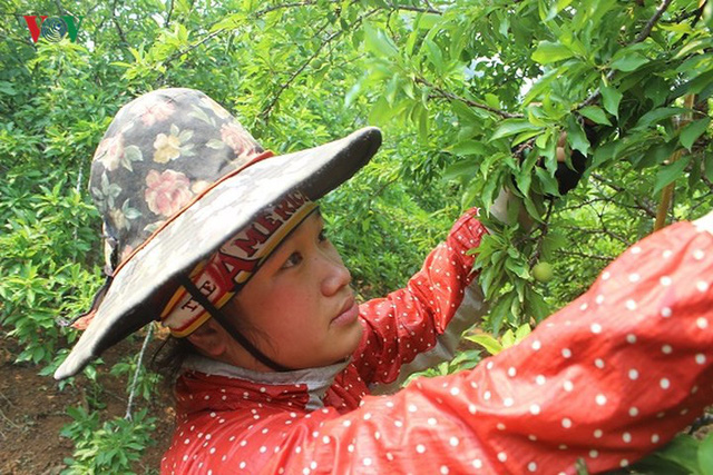 Mận tam hoa được mùa – mất giá, cả nghìn hộ dân Sơn La lao đao - Ảnh 6.
