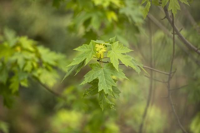 Cận cảnh hàng cây phong đỏ ở Hà Nội vào mùa trổ lá - Ảnh 7.