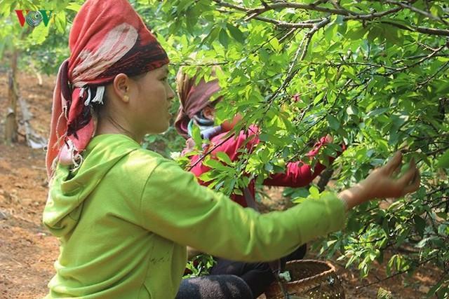 Mận tam hoa được mùa – mất giá, cả nghìn hộ dân Sơn La lao đao - Ảnh 8.