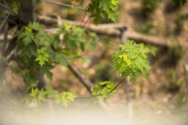 Cận cảnh hàng cây phong đỏ ở Hà Nội vào mùa trổ lá - Ảnh 9.