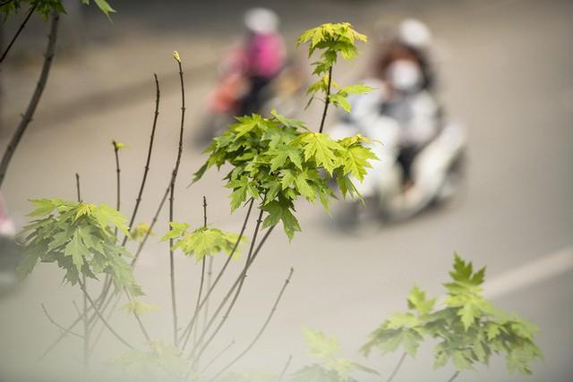 Cận cảnh hàng cây phong đỏ ở Hà Nội vào mùa trổ lá - Ảnh 11.
