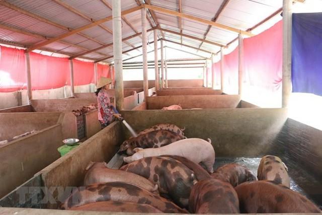 Giá lợn tăng lên nhưng người chăn nuôi vẫn e ngại tái đàn