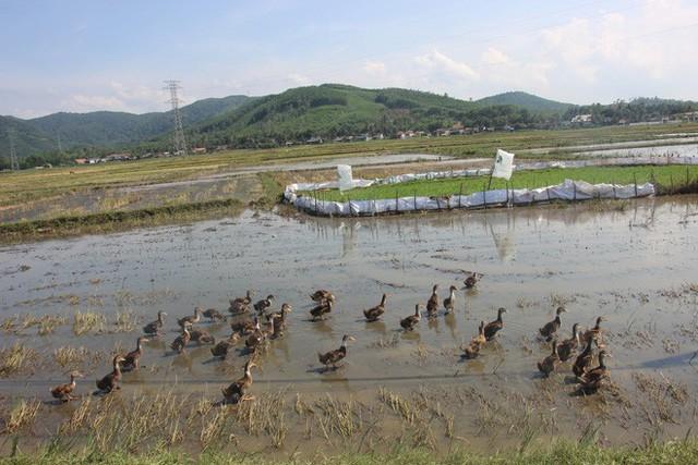 Nông dân ở Bình Định phải đóng tiền mới được thả vịt ra đồng - Ảnh 2.