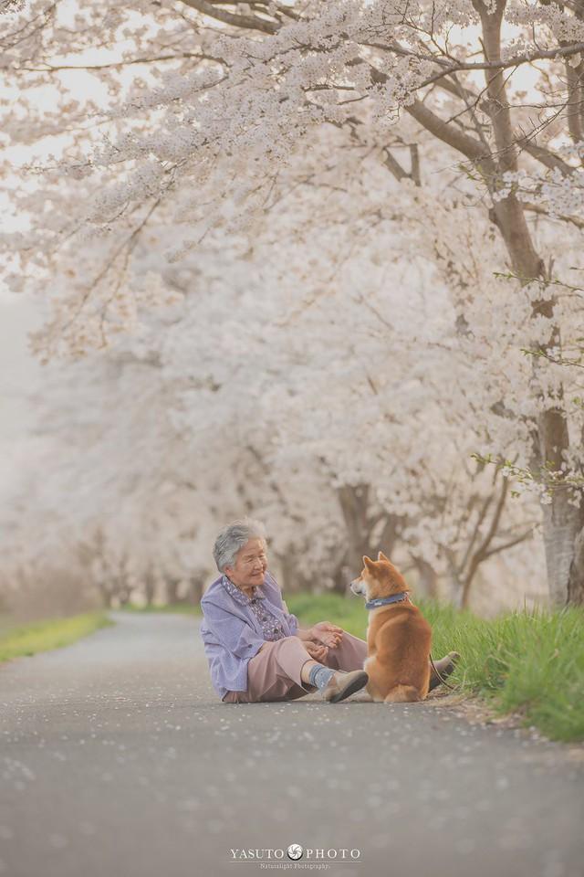 Giữ lời hứa chụp bà và chú chó dưới tầng hoa anh đào, câu chuyện của nhiếp ảnh gia Nhật Bản khiến bao người thổn thức - Ảnh 1.
