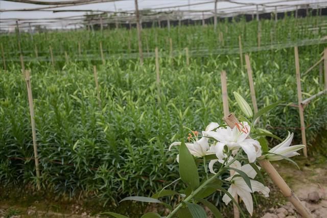 Tây Tựu: Người trồng hoa loa kèn có thực sự trúng lớn? - Ảnh 2.