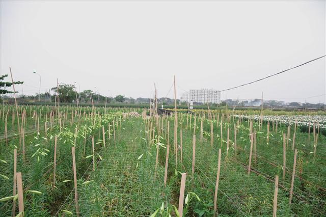Tây Tựu: Người trồng hoa loa kèn có thực sự trúng lớn? - Ảnh 3.