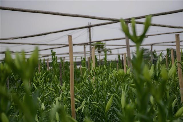 Tây Tựu: Người trồng hoa loa kèn có thực sự trúng lớn? - Ảnh 6.