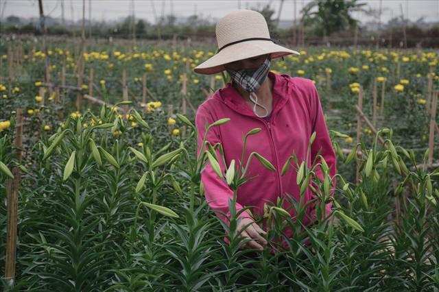 Tây Tựu: Người trồng hoa loa kèn có thực sự trúng lớn? - Ảnh 8.