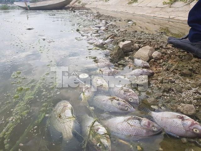 Cá chết hàng loạt ở 4 hồ thông ra vịnh Hạ Long   - Ảnh 6.