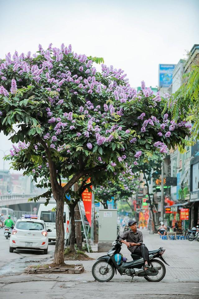 Ngắm hoa bằng lăng nhuộm tím trời Hà Nội - Ảnh 12.