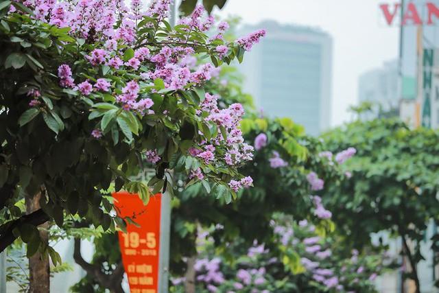 Ngắm hoa bằng lăng nhuộm tím trời Hà Nội - Ảnh 13.