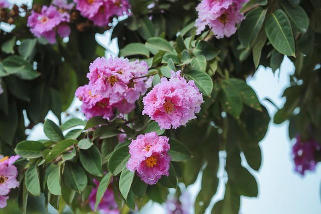 Ngắm hoa bằng lăng nhuộm tím trời Hà Nội - Ảnh 19.