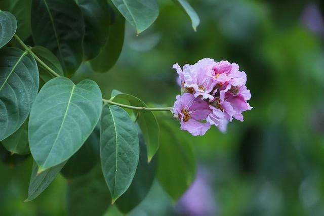 Ngắm hoa bằng lăng nhuộm tím trời Hà Nội - Ảnh 3.