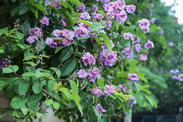 Ngắm hoa bằng lăng nhuộm tím trời Hà Nội - Ảnh 5.