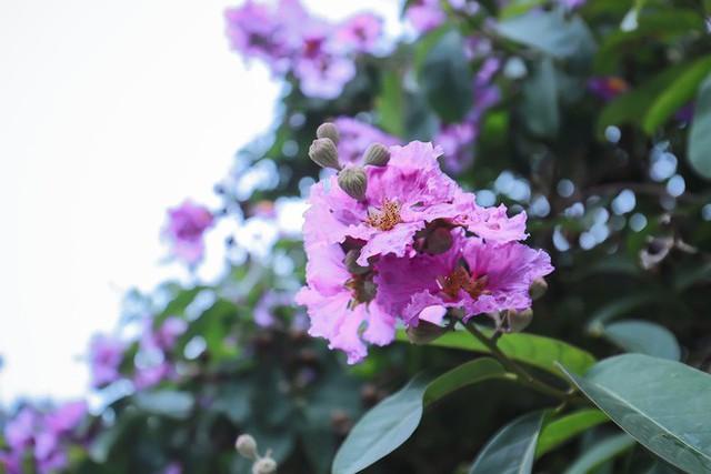 Ngắm hoa bằng lăng nhuộm tím trời Hà Nội - Ảnh 9.