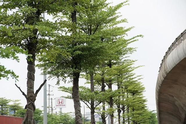Những hàng cây xanh mướt thẳng tắp ở đầu cầu Thanh Trì - Ảnh 5.