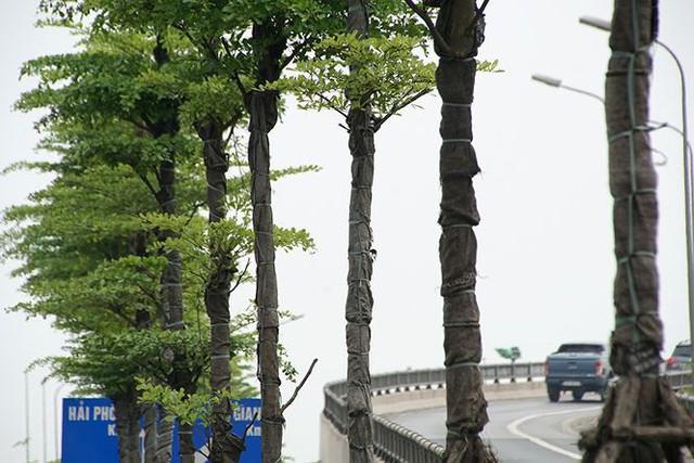 Những hàng cây xanh mướt thẳng tắp ở đầu cầu Thanh Trì - Ảnh 6.