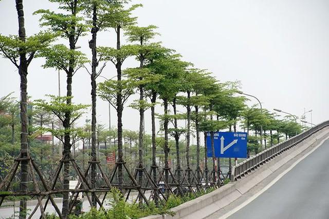 Những hàng cây xanh mướt thẳng tắp ở đầu cầu Thanh Trì - Ảnh 10.