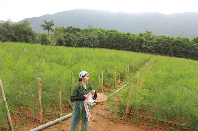 Chiêm ngưỡng vườn măng tây cho thu nhập gần 2 tỷ/năm - Ảnh 1.