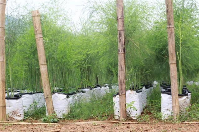 Chiêm ngưỡng vườn măng tây cho thu nhập gần 2 tỷ/năm - Ảnh 11.