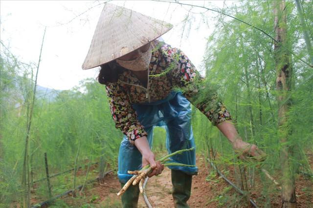 Chiêm ngưỡng vườn măng tây cho thu nhập gần 2 tỷ/năm - Ảnh 6.
