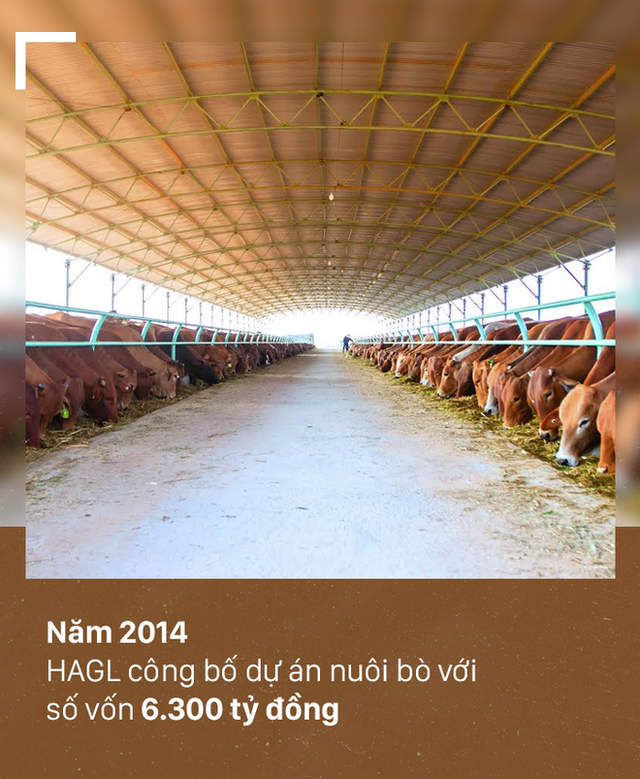 [PHOTO STORY]: Số phận đàn bò nghìn tỷ của bầu Đức - Ảnh 2.